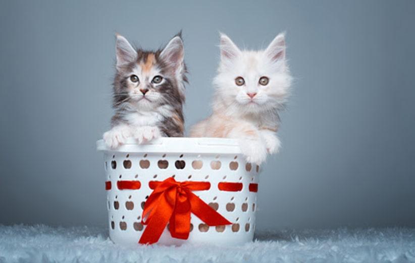 اکسسوری گربه