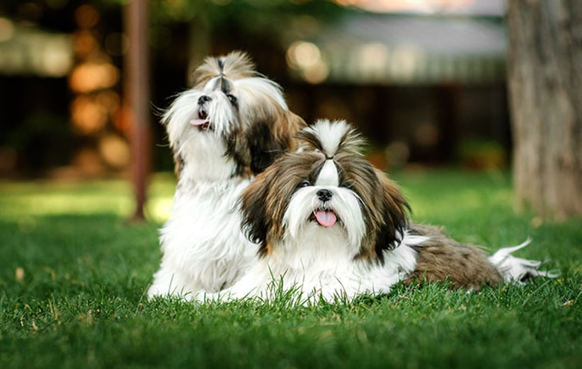 سگ شیتزو
