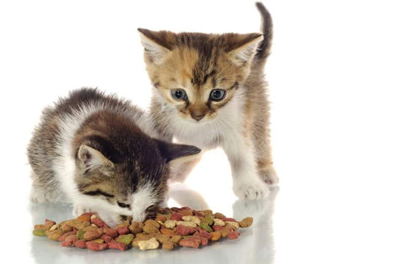 غذای بچه گربه