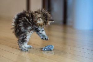 غذای خشک بچه گربه رویال کنین
